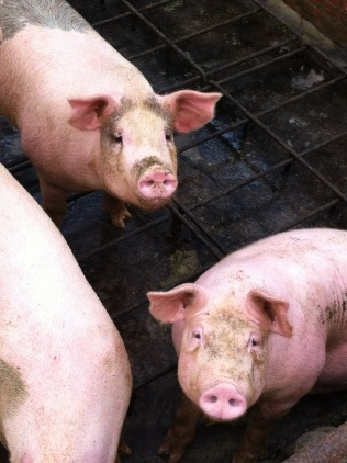 Piggily-Wigglies