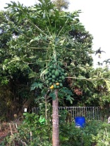 Papaya Bundle.